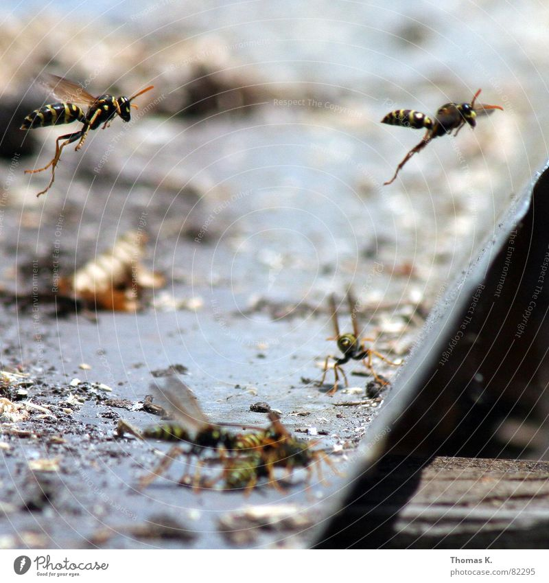 Black Yellow Legs Wing Bee Insect Depth of field Feeler Formation Pierce Spine Wasps Assassin Sting Hymenoptera Command