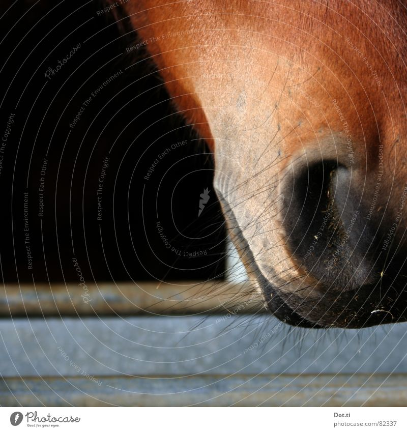 nose hair Animal Pelt Horse Animal face 1 Breathe Near Curiosity Beautiful Warmth Soft Brown Black Horse breeding Riding stable Nostrils Barn Mammal Muzzle