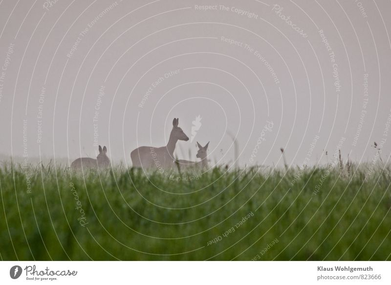 Early fog 1 Environment Nature Animal Summer Fog Grass Meadow Field Forest Wild animal Animal face Pelt Roe deer Fawn Female deer 3 Baby animal Animal family