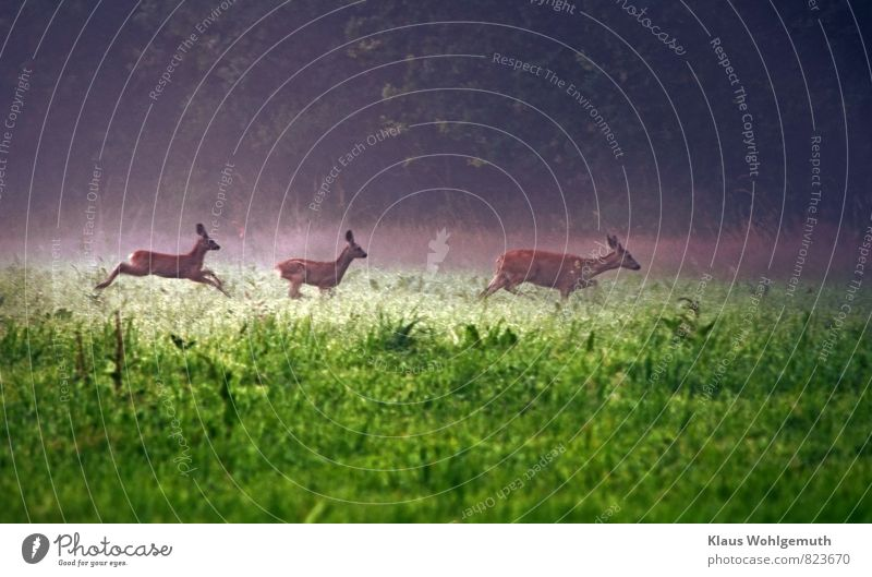 Morning fog 3 ( Off into the undergrowth ) Environment Nature Landscape Animal Fog Grass Meadow Forest Roe deer Fawn Female deer Group of animals Baby animal