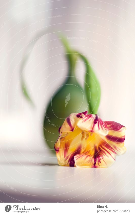 DarLow Flower Tulip Lie Yellow Green Red Lifeless Exhaustion Still Life Vase Colour photo Deserted Copy Space bottom Shallow depth of field