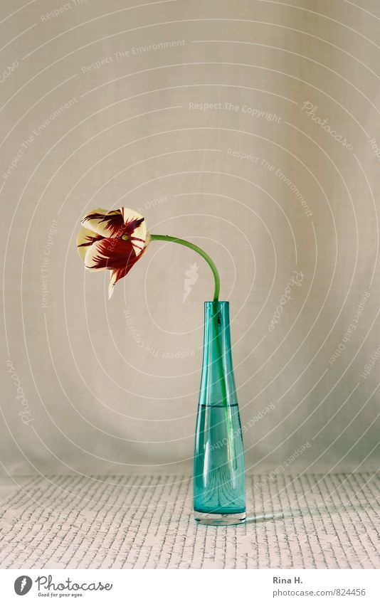 looking away Flower Tulip Blossoming glass vase Vase Typography Still Life Colour photo Interior shot Deserted Copy Space left Copy Space right Copy Space top