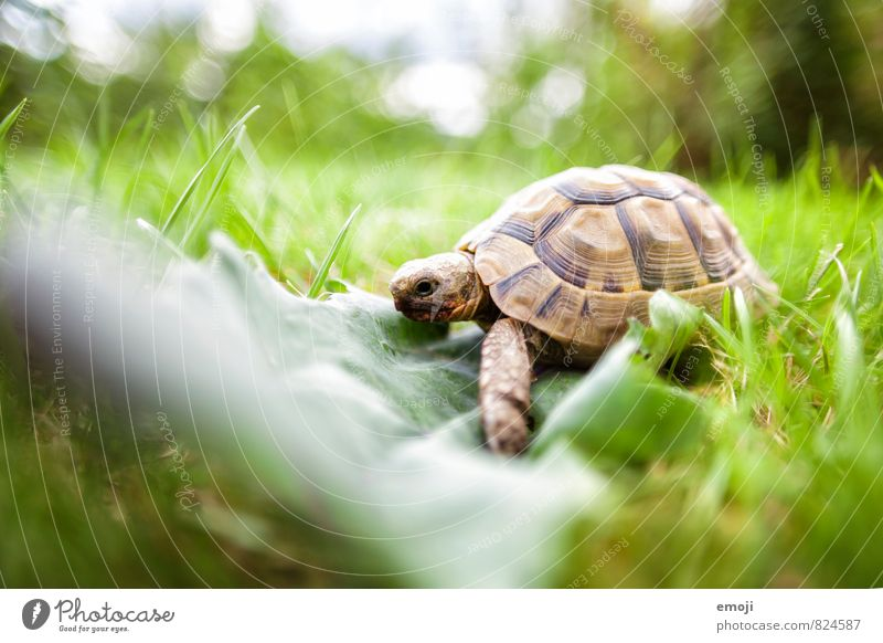 turtle Environment Nature Grass Leaf Animal Pet 1 Natural Green Turtle Colour photo Exterior shot Close-up Deserted Day Shallow depth of field Full-length