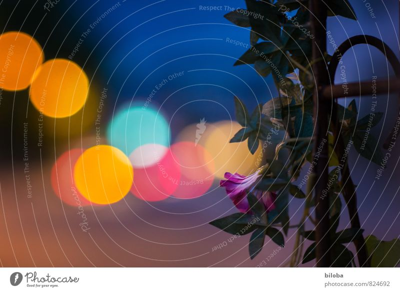 Queen of the Night Plant Summer Flower Town Blue Yellow Violet Red Light Circle Structures and shapes Colour photo Exterior shot Experimental Abstract Pattern