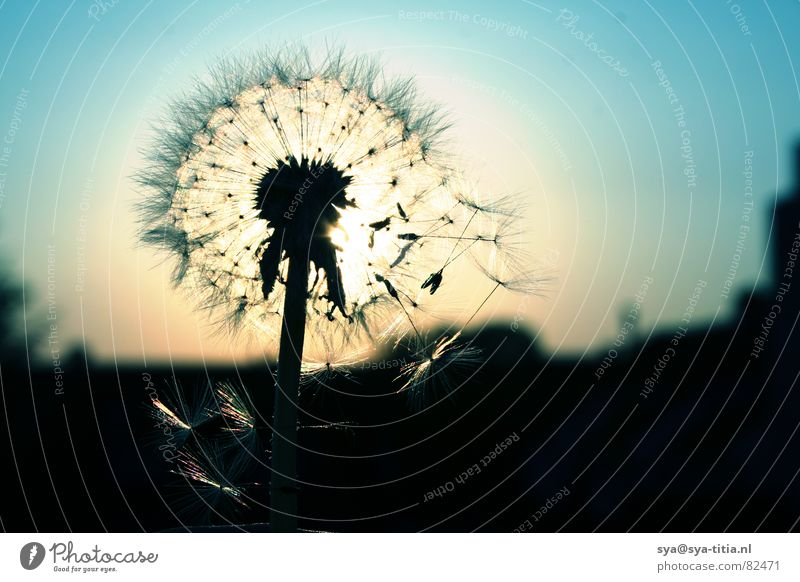 dandelion Dandelion Sunset Dusk Back-light Silhouette Sky Blue Evening Faded flower