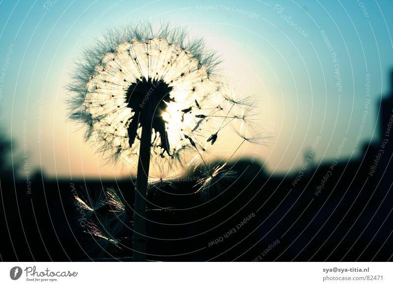 Sky Sun Blue Dandelion Dusk Faded Flower