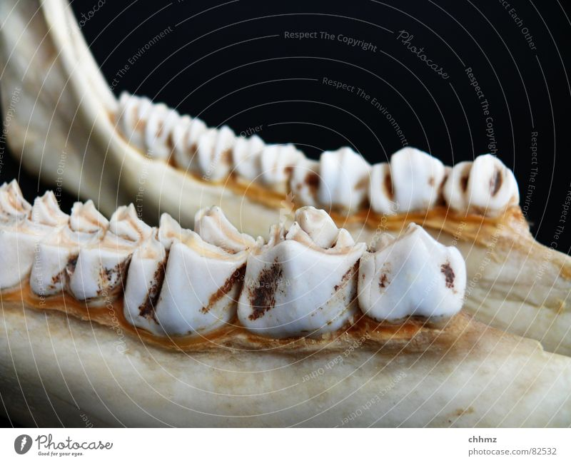 Nutrition Legs Floor covering Teeth Mammal Cheek Dentist Skeleton Pine Elk Jaw Ruminant Lower jaw Teeth-grinding Neck of a tooth