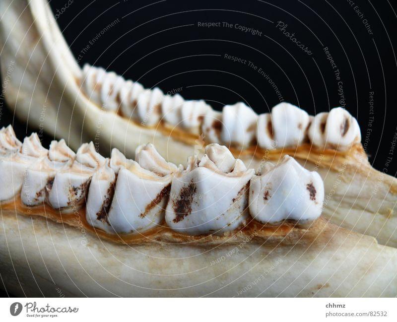 Nutrition Legs Floor covering Teeth Mammal Cheek Dentist Skeleton Pine Elk Jaw Ruminant Lower jaw Teeth-grinding Neck of a tooth