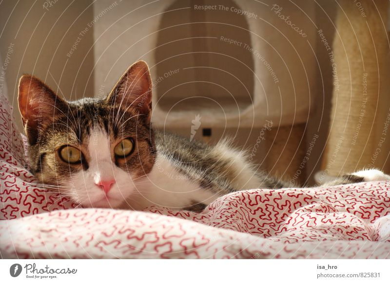 Awake look Animal Pet Cat Animal face 1 Resolve Relaxation Contentment Duvet Colour photo Interior shot Animal portrait Looking Looking into the camera Forward