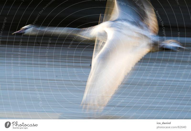 flieeeeeeeeg!!! - swan Environment Nature River Bird Swan Wing Flying Speed Might Isar Munich Judder Wilderness Span Photography Colour photo Motion blur