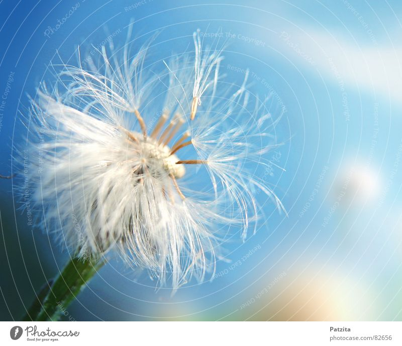 Nature Beautiful Sky Flower Blue Summer Clouds Meadow Grass Spring Small Wind Delicate Dandelion Blow Seed