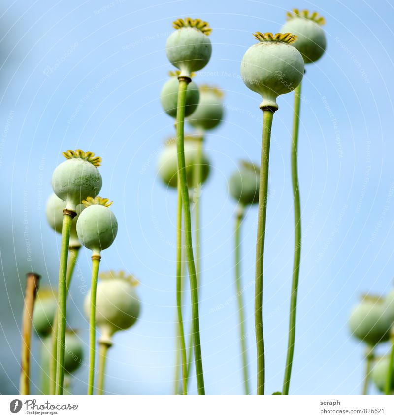 """Poppy Withered Limp Seed Kernels & Pits & Stones Seeds """"Seed vessel. Flower Nature Close-up Blossom leave Plant Garden Meadow flower head Flourish Blossoming"""