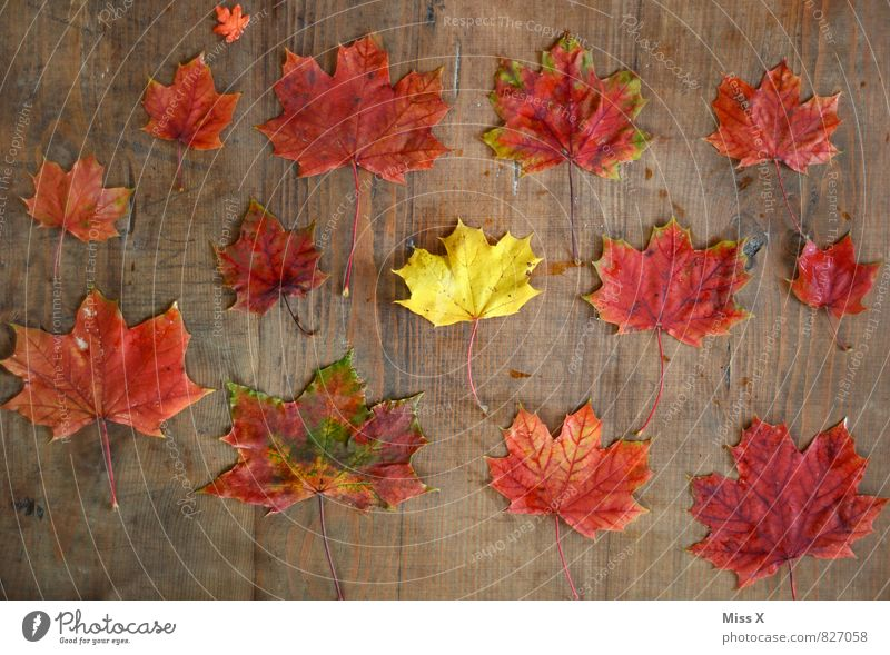 collection Leisure and hobbies Handicraft Environment Nature Autumn Leaf Yellow Red Colour Creativity Maple leaf Craft materials Autumn leaves Wood