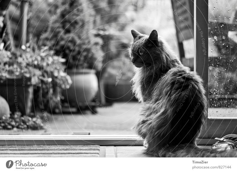 melancholy maine-coon Animal Pet Cat Looking Esthetic Black White Love of animals Nature Maine-Coon Garden Rain Window pane Drops of water Hair and hairstyles