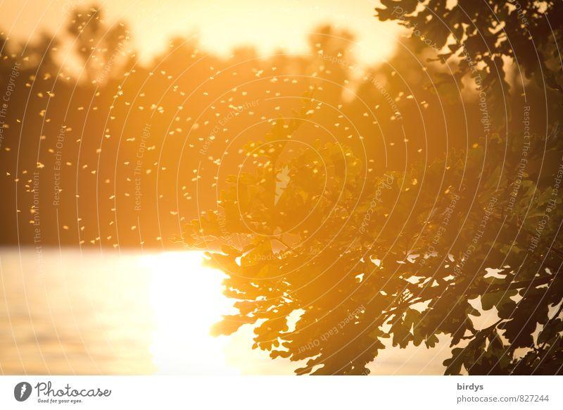 mosquito idyll Water Sunrise Sunset Sunlight Summer Beautiful weather Tree Lakeside Mosquitos Flock Flying Illuminate Threat Natural Warmth Yellow Orange