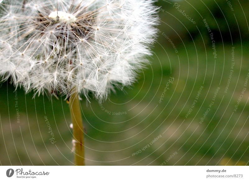 Green Meadow Dandelion Seed