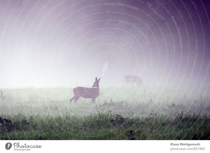 Morning fog 5 ( Nothing bad was probably ) Environment Nature Animal Summer Autumn Fog Grass Meadow Field Forest Roe deer Fallow deer Female deer 2 Observe