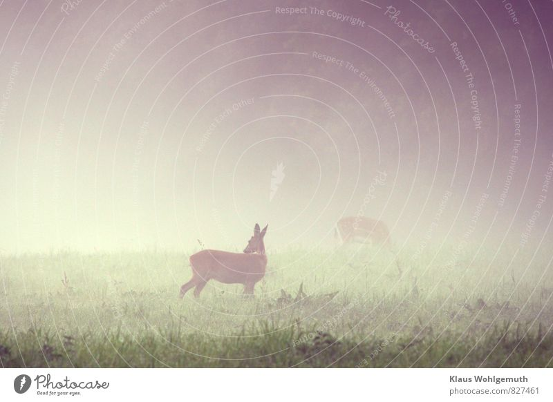 Morning fog 6 ( Caution is the mother..... ) Environment Nature Animal Summer Fog Grass Park Meadow Field Forest Wild animal Roe deer Female deer 2 Observe