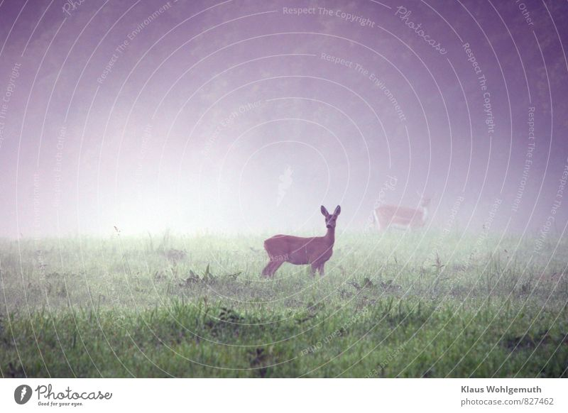 Morning fog 4 ( What clicks there?) Environment Nature Landscape Animal Drops of water Summer Fog Grass Foliage plant Meadow Field Forest Wild animal Pelt