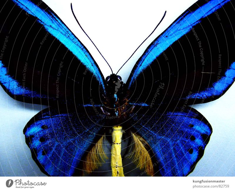 Blue Insect Butterfly Feeler Delicate Impaled