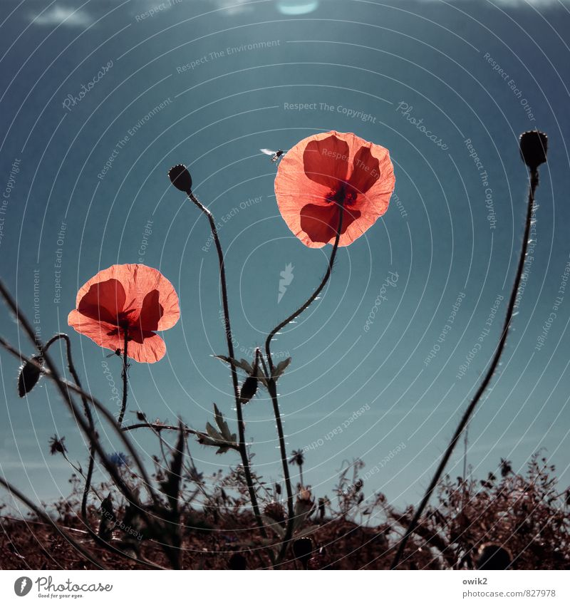Wild Flowers Environment Nature Plant Animal Air Cloudless sky Climate Weather Beautiful weather Blossom Wild plant Poppy blossom Wasps 1 Movement Illuminate