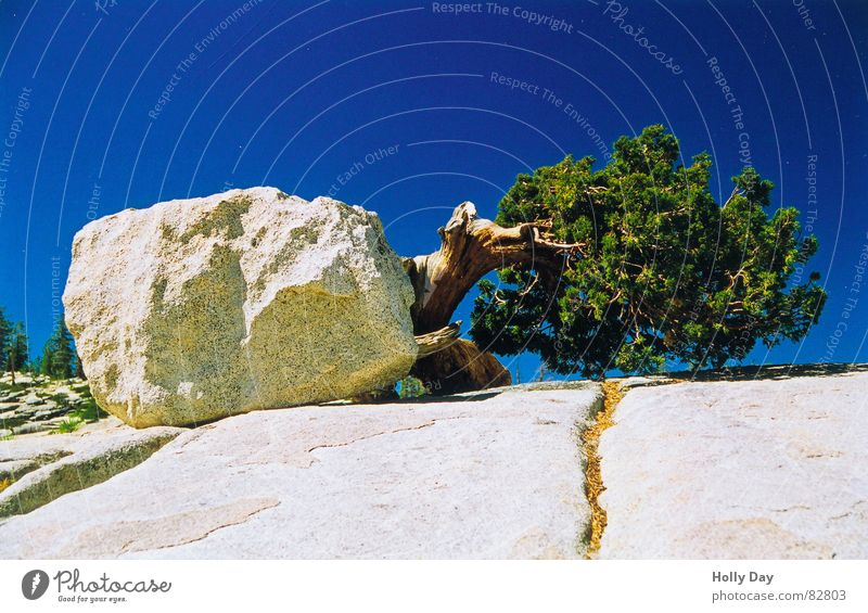 will to live Yosemite National Park Tree Strange California 2006 Exceptional Whimsical USA Summer strange attitude Rock Stone Blue sky