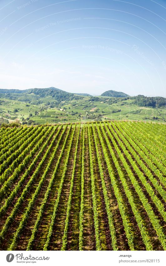 viticulture Trip Landscape Cloudless sky Horizon Summer Autumn Beautiful weather Plant Wine growing Vine Agricultural crop Hill Vineyard Relaxation Bright