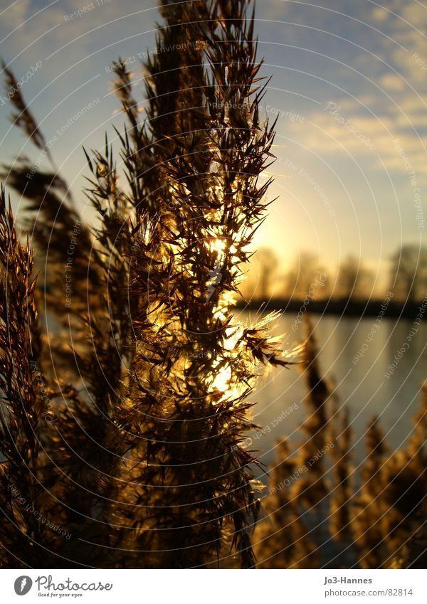 In the light Lighting Juncus Common Yarrow Lake Grass Wheat Sunbeam Back-light Sunset Sunrise Blade of grass Branchage Pond Harmonious Calm Longing Yellow