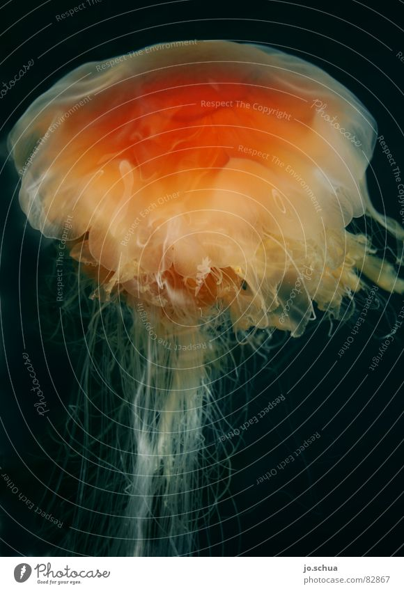 lion's mane jellyfish Lion's mane jellyfish Norwegian Jellyfish Red Poison Disgust Tentacle Norway Dangerous Animal Ocean Sea water Burn Underwater photo