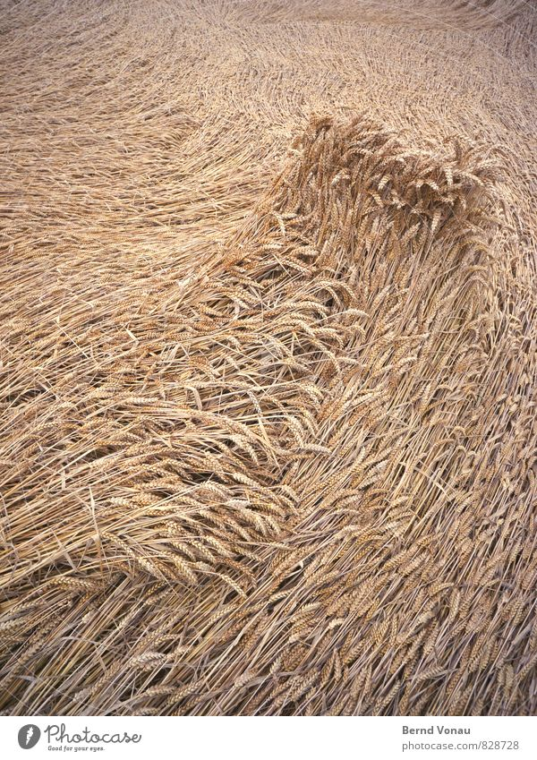 billowing Grain Waves Agriculture Forestry Wind Field Lie Sadness Wet Brown Grain field Cornfield Level Direction Dynamics Crest of the wave Colour photo
