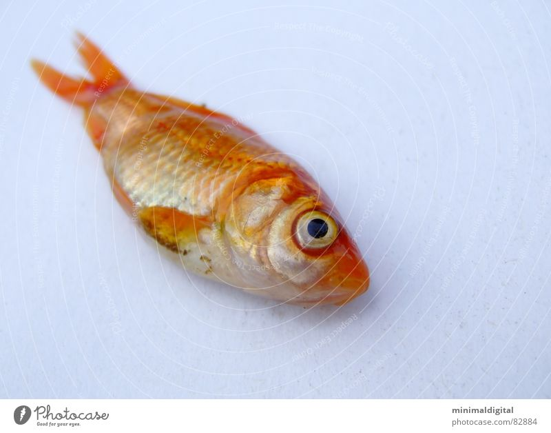 Water Eyes Death Gold Sleep Fish Silver Barn Goldfish Fish bone Gill Fish head