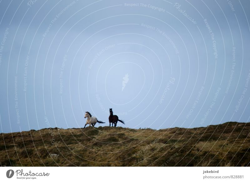 Wild in the wind Sky Pasture Horse Gray (horse) Pair of animals Running Freedom Ride Horse's gait Excitement Colour photo Exterior shot Deserted Copy Space top