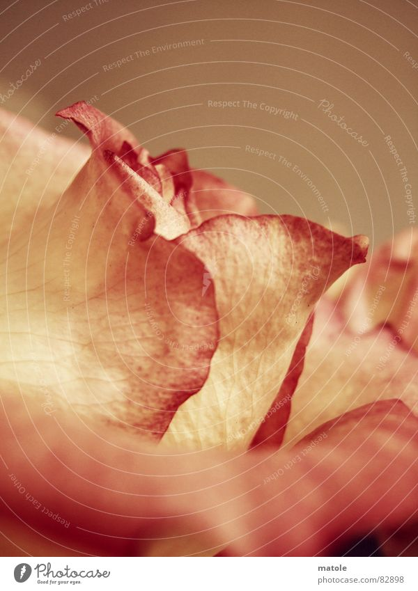 Plant Flower Red Environment Warmth Blossom Emotions Friendship Pink Growth Warm-heartedness Romance Friendliness Near Rose Trust
