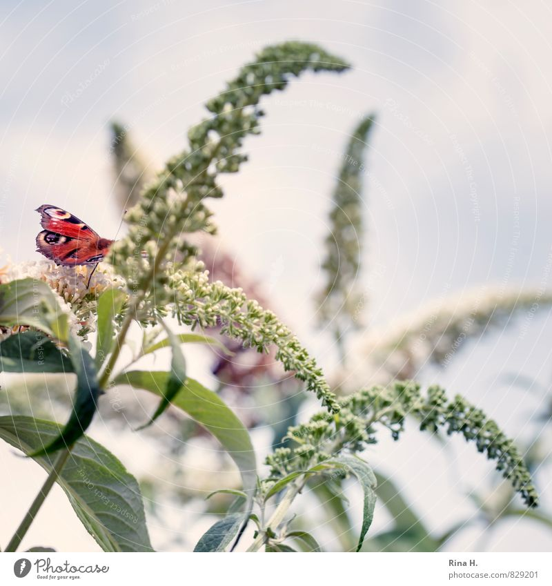 Sky Plant Summer Animal Bushes Delicate Butterfly Ease Curved Buddleja
