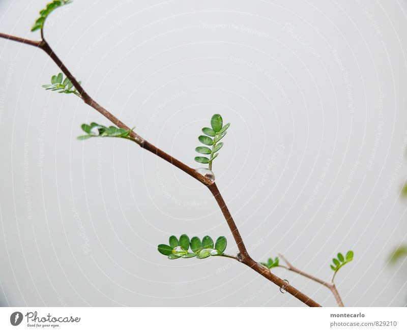 sophora Environment Nature Plant Tree Leaf Foliage plant Wild plant Exotic Esthetic Thin Authentic Simple Fresh Glittering Uniqueness Small Near Wet Natural