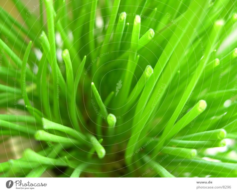 chives Chives Plant Green Macro (Extreme close-up)