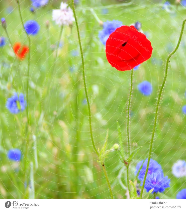poppy - poppy seed Green Summer Meadow Gaudy Poppy Plant Stalk Flower Multicoloured Red Grass Blade of grass Flowerbed Splendid whit Blue warm season