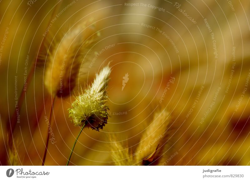 grass Environment Nature Plant Grass Growth Natural Warmth Wild Soft Brown Colour photo Exterior shot Shallow depth of field