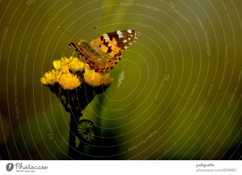meadow Environment Nature Animal Plant Blossom Garden Park Meadow Butterfly 1 Natural Warmth Wild Yellow Moody Elegant Ease Summer Colour photo Subdued colour