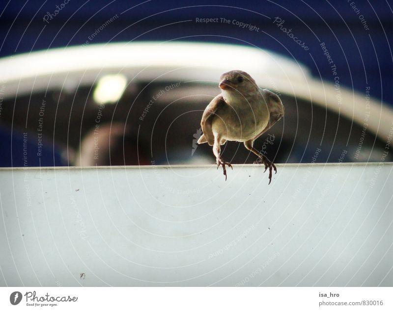 Blue Animal Brown Bird Sparrow
