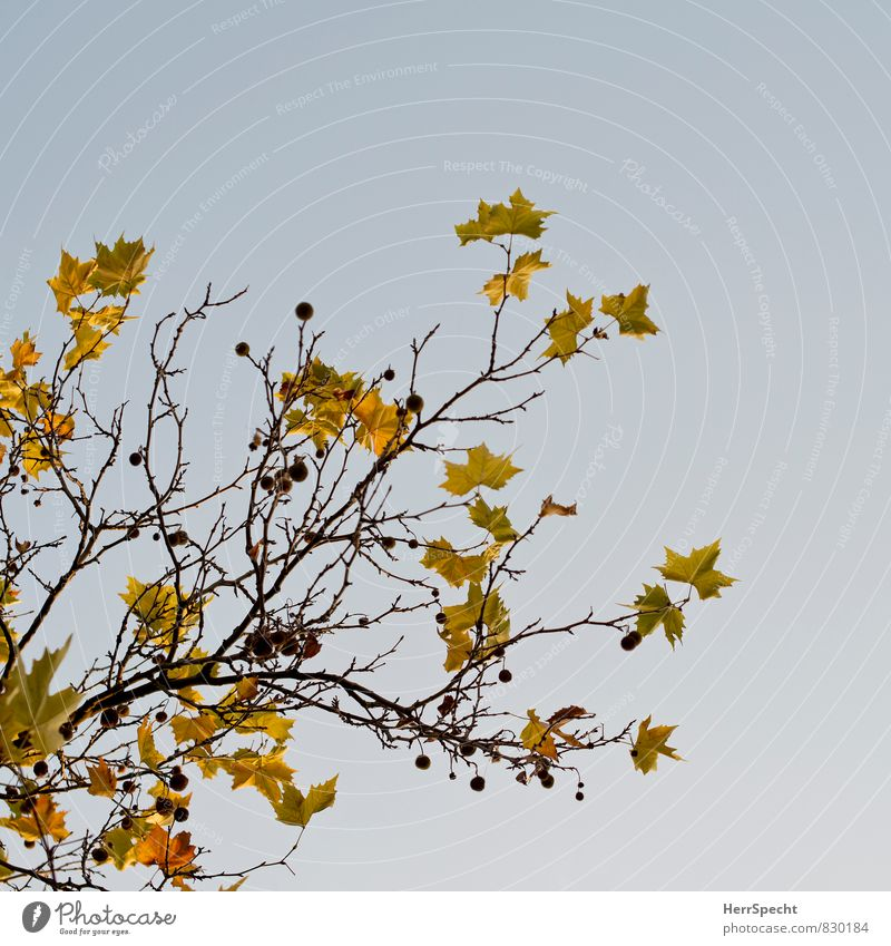 Nature Plant Tree Leaf Environment Yellow Autumn Brown Autumn leaves Autumnal Autumnal colours