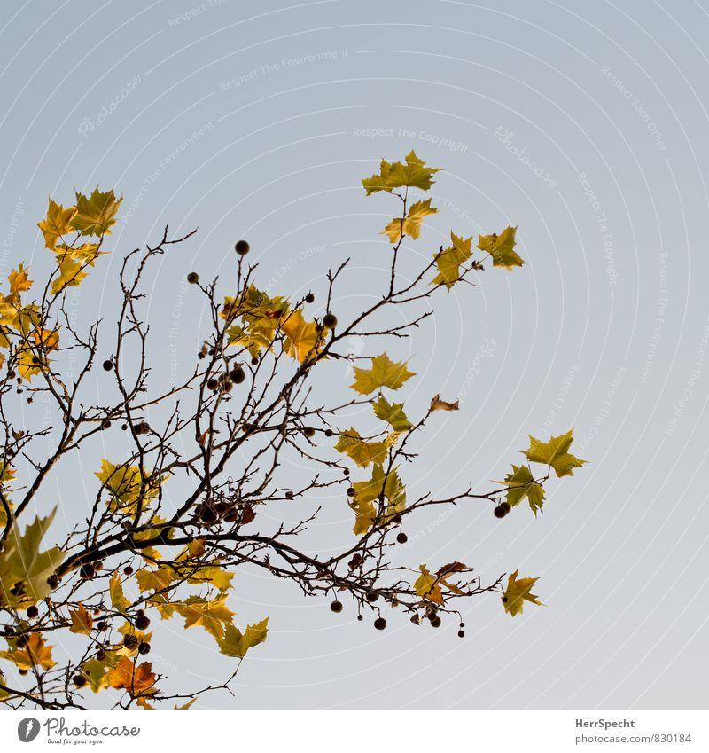 Nature Plant Tree Leaf Environment Yellow Autumn Brown Autumn leaves Autumnal Autumnal colours