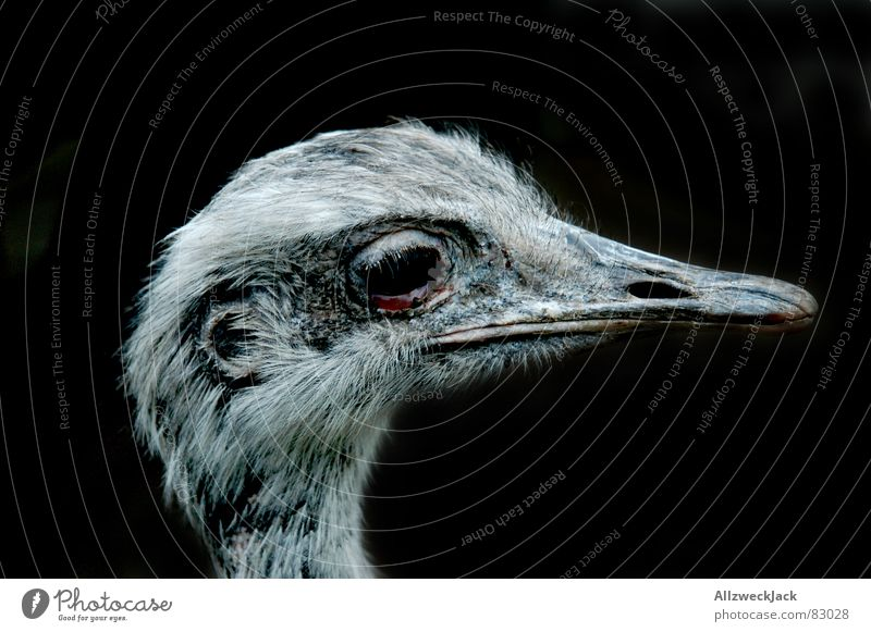 Black Bird Feather Bouquet Beak Animal Ornithology Bird 'flu Flightless bird Nandu Dark background