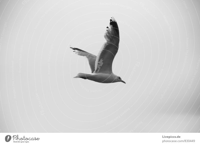 Sky White Clouds Animal Black Environment Gray Freedom Flying Bird Wild animal Seagull Equal