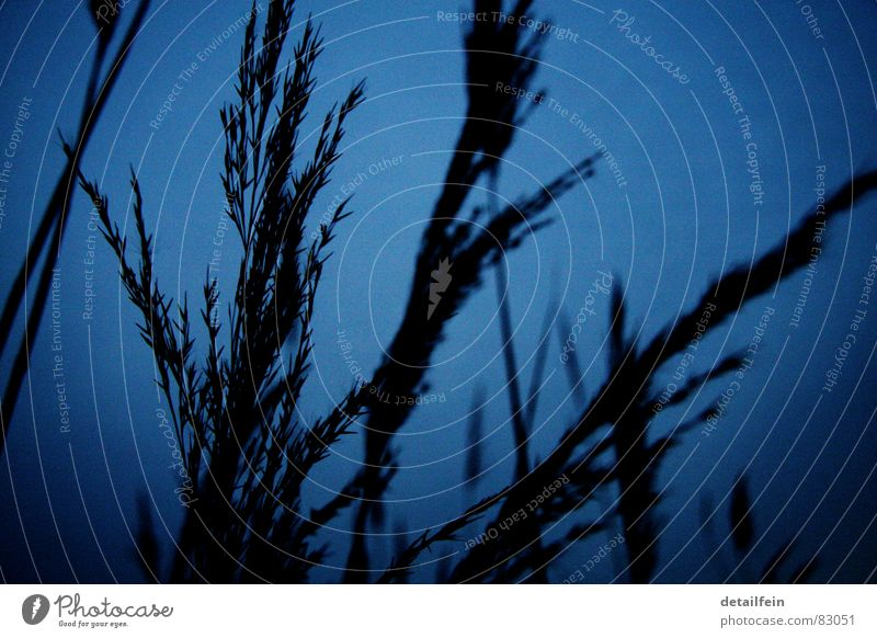 grasses in the evening Grain Grass Meadow Blue Dusk Blade of grass Seed Stalk Pasture silouette Evening Twilight