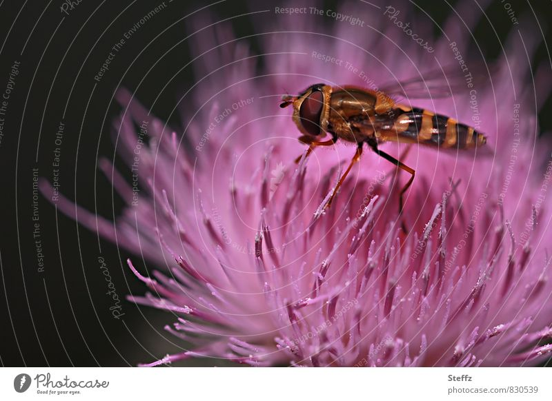Lure | with scent and color Thistle Thistle blossom Summerflower Hover fly wild flower Fly summer flower pink flower Temptation pink blossom Summer Colours