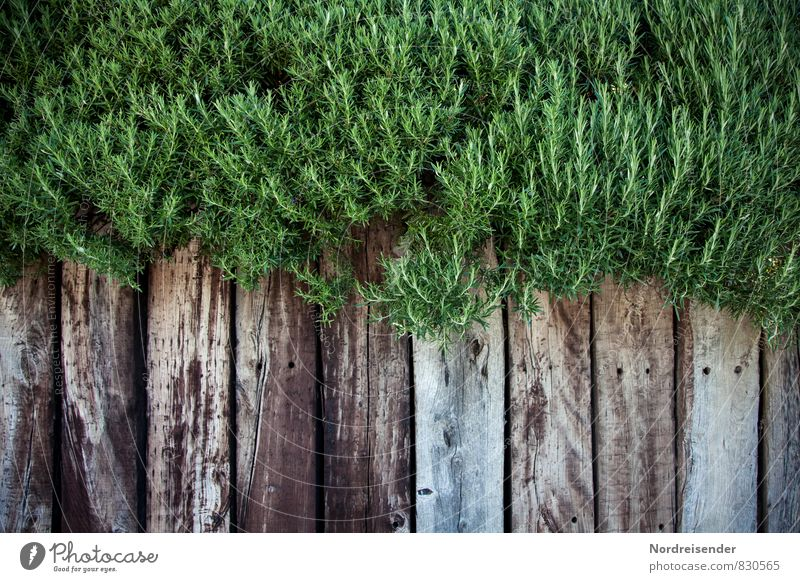 rosemary Herbs and spices Organic produce Garden Plant Summer Agricultural crop Wall (barrier) Wall (building) Wood Growth Gray Green Rosemary Medicinal plant