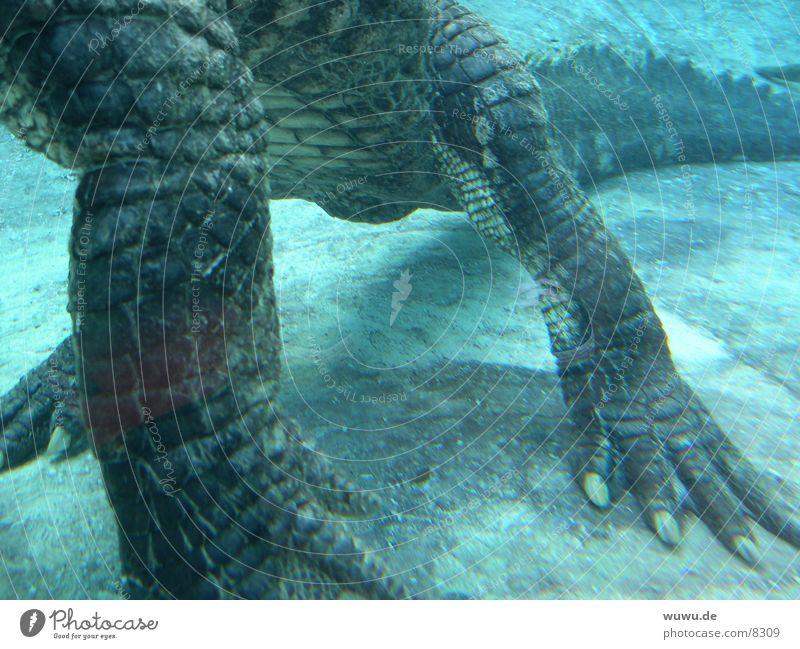 Water Dangerous USA Turquoise Aquarium Crocodile Alligator