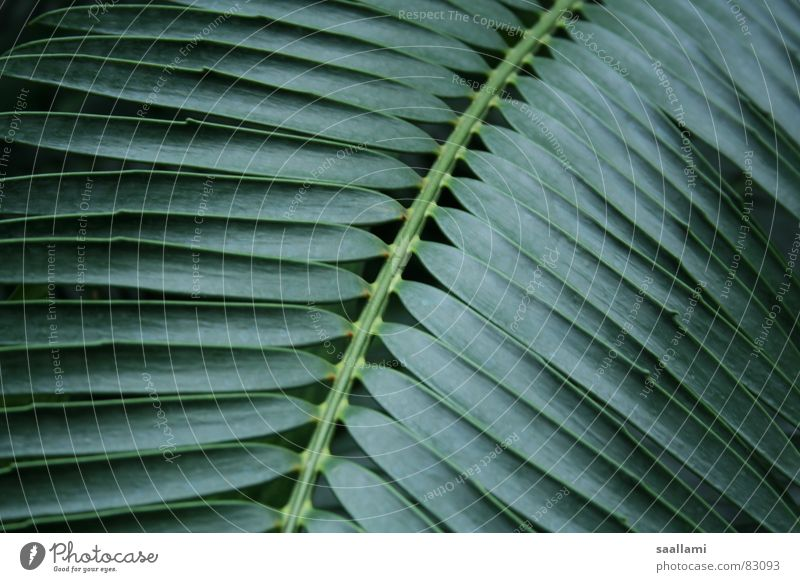 palm fronds Palm frond Holly Palm tree Green Plant Botany Garden Park Macro (Extreme close-up) Close-up palm branch Exotic Detail Nature Line