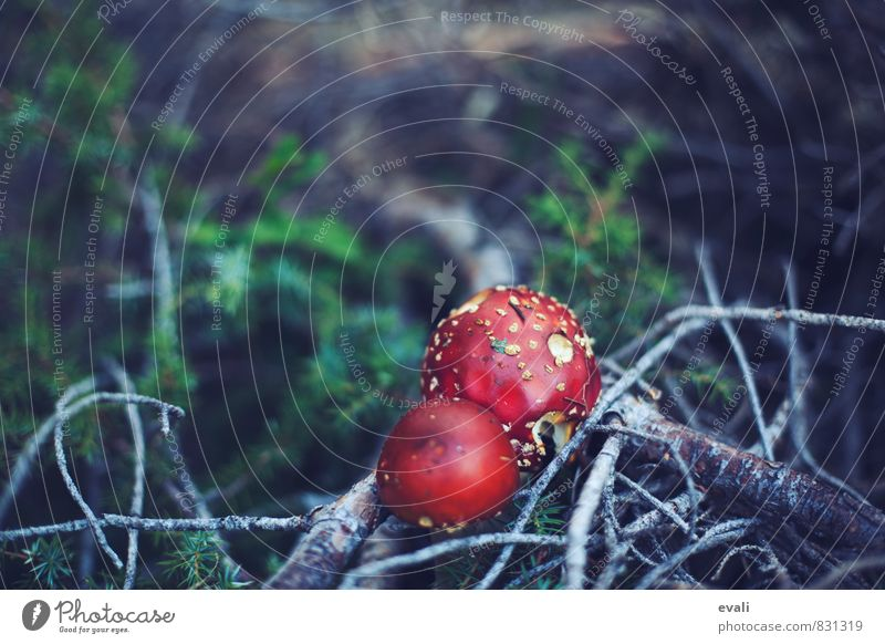 Nature Plant Summer Red Forest Autumn Happy Healthy Branch Moss Mushroom Woodground Good luck charm Amanita mushroom